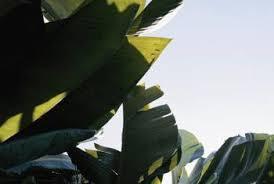 how to grow ornamental bananas home guides sf gate