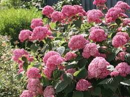 hydrangea hydrangea gammon u0027s garden center u0026 landscape nursery