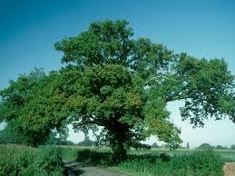 oak quercus robur woodland trust