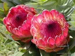 Protea Flower Flowers Protea Flower
