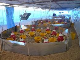 Termometer Kandang Ayam tips irit bahan bakar tanpa mengurangi kualitas brooding pada