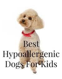 belgian shepherd hypoallergenic american eskimo dog not hypoallergenic american eskimo dog