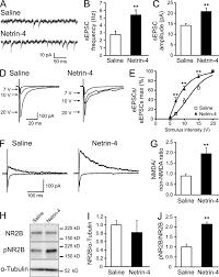 dorsal horn interneuron derived netrin 4 contributes to spinal