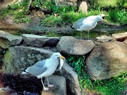 seagull eating fish during herring run at cape cod massachusetts