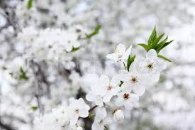 Trees With White Flowers Blossoming Tree With White Flowers In Spring Stock Photo Colourbox