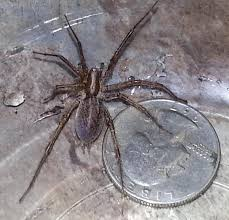grass spiders at spiderzrule the best site in the world about