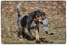 bluetick coonhound dog 12 coonhounds too floppy for their own good