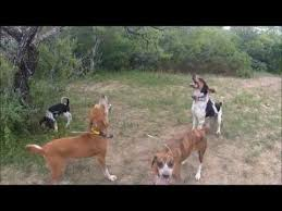 training a bluetick coonhound to hunt how to scent drag train young hound dogs to teach pup hounds to