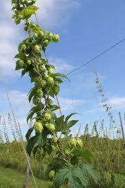 11 best hops images on pinterest hops plant twine and beer hops