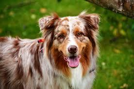 australian shepherd grooming needs april 2014 interview copper the australian shepherd canine