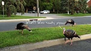 today s pigeon thanksgiving edition animal