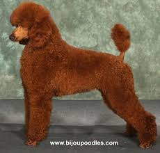 standard poodle hair styles grooming your poodle