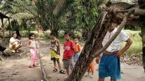 film ular download pria ini bergelut melawan seekor ular piton yang berukuran 7 meter