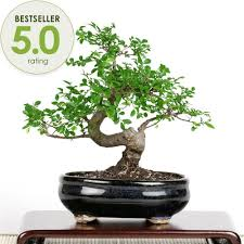 of china tree bonsai elm bonsai tree from easternleaf