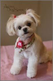 shih tzu haircuts shih tzu puppy after grooming teddy bear trim puppy cut short