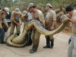 vidio film ular anaconda top 20 dangerous and fabulous anaconda snake wallpapers in hd