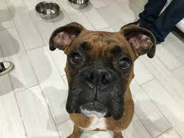 boxer dog 2015 adding rules boundaries and limits to help an excited boxer stop