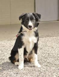 australian shepherd dog puppies australian shepherd puppies for sale lancaster puppies