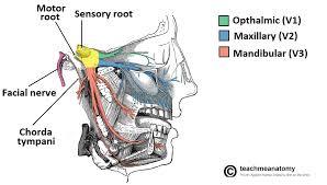 Floor Of The Cranium The Trigeminal Nerve Cn V Course Divisions Teachmeanatomy
