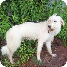 afghan hound poodle cross dana adopted dog portsmouth ri great pyrenees standard