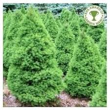 blue white spruce trees for sale picea ornamental trees ltd