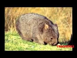 imagenes animales australia animales de australia y oceania salvaje fauna de australia