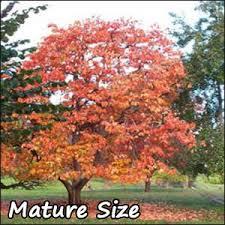 wildlife persimmon tree buy american persimmon trees grow food