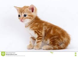auburn cat stock photos images u0026 pictures 53 images