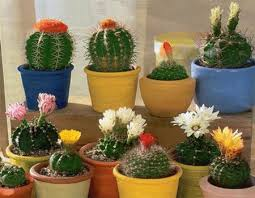 Small Desk Plants by Cactus Plants And Feng Shui Decorating Small Cactus Plants