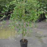 add grace to your garden with these 19 weeping trees cherry tree