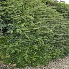 arbuste feuillage pourpre persistant arbustes et vivaces pour haies basses plantes et jardins
