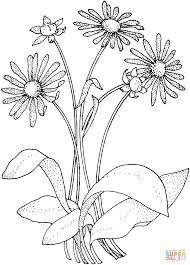 daisy asteraceae coloring page free printable coloring pages