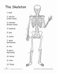 best 25 human skeleton for kids ideas on pinterest human