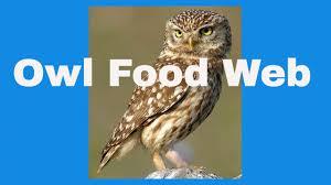 owl food web youtube