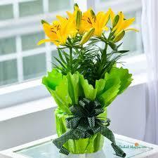 cute plant cute lily pot plants dalat hasfarm
