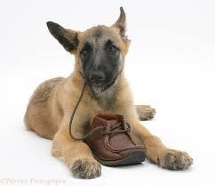 belgian sheepdog dog belgian shepherd dog pup photo wp19892