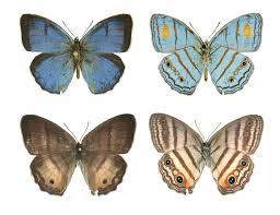 a case of mistaken identity dna links male female butterfly