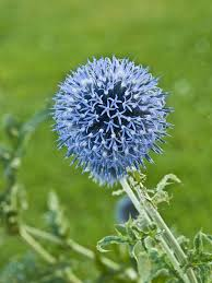 free photo flower ornamental thistle field thistle meadow max pixel