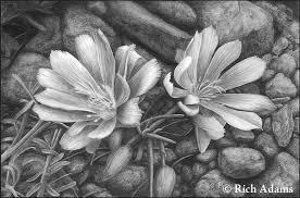 State Flower Of Montana - rich adams fine art drawings landscapes bitterroot flower
