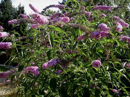 native plants of new jersey avoid invasive plants jersey friendly yards