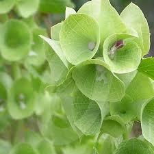 bells of ireland flower molucella laevis bells of ireland cut flower seeds quality seeds