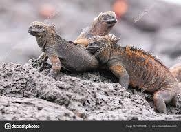 iguana island marine iguanas on santiago island in galapagos national park ec
