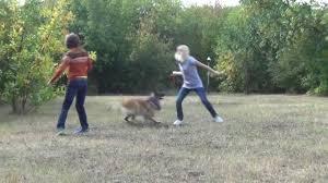 belgian sheepdog michigan belgian shepherd dog tervuren playing our favourite dogs