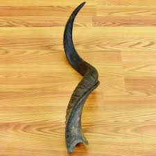 horns for sale 32 kudu horn sw4211 for sale at safariworks taxidermy sales