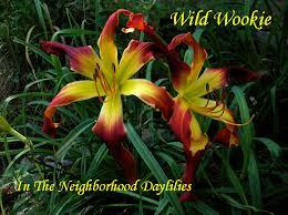 Day Lillies Daylilies For Sale Daylily Daylillies Daylily Wild Wookie Stamile