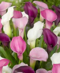 buy calla lily in 4 varieties bakker com