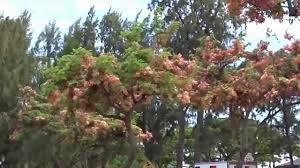 shower tree hawaiian tree flower kapiolani park waikiki
