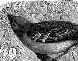 photo engraving beautiful antique bird engraving the graphics fairy