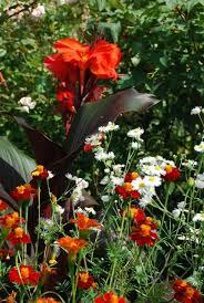 89 best canna u0027s images on pinterest canna lily garden plants