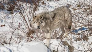 how do you save a wolf that u0027s not really a wolf science aaas